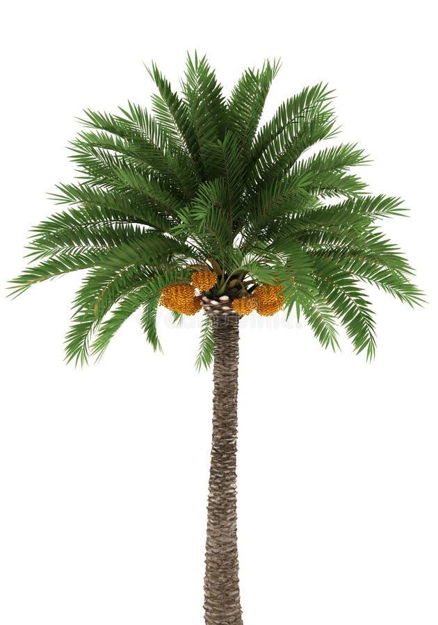 Palmeira isolada no fundo branco ilustração stock