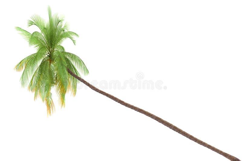 Palmeira isolada no fundo branco imagem de stock