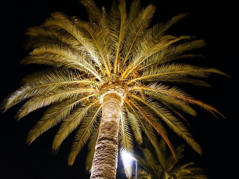 A palmeira na noite iluminou-se por um projetor de baixo de imagem de stock