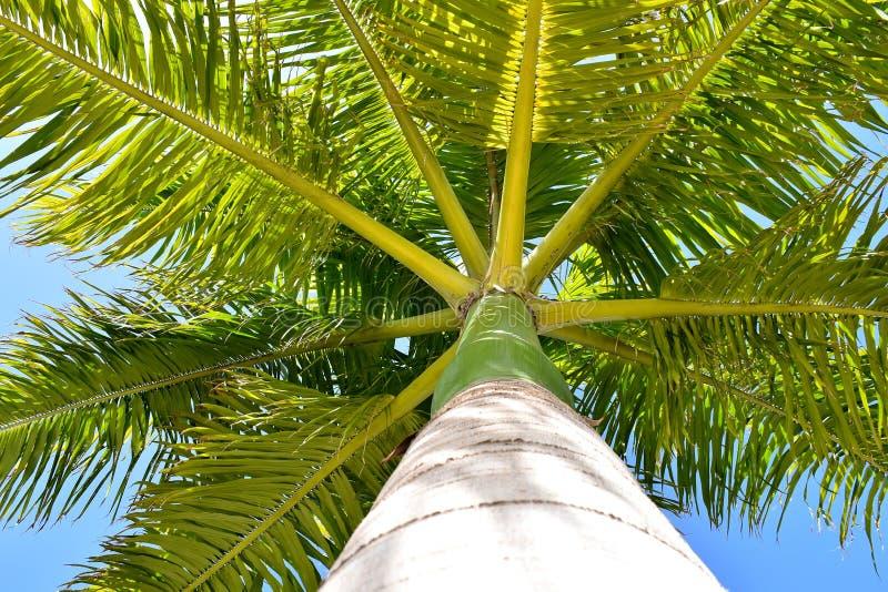 Palmeira na palma real de céu azul de Cuba imagens de stock
