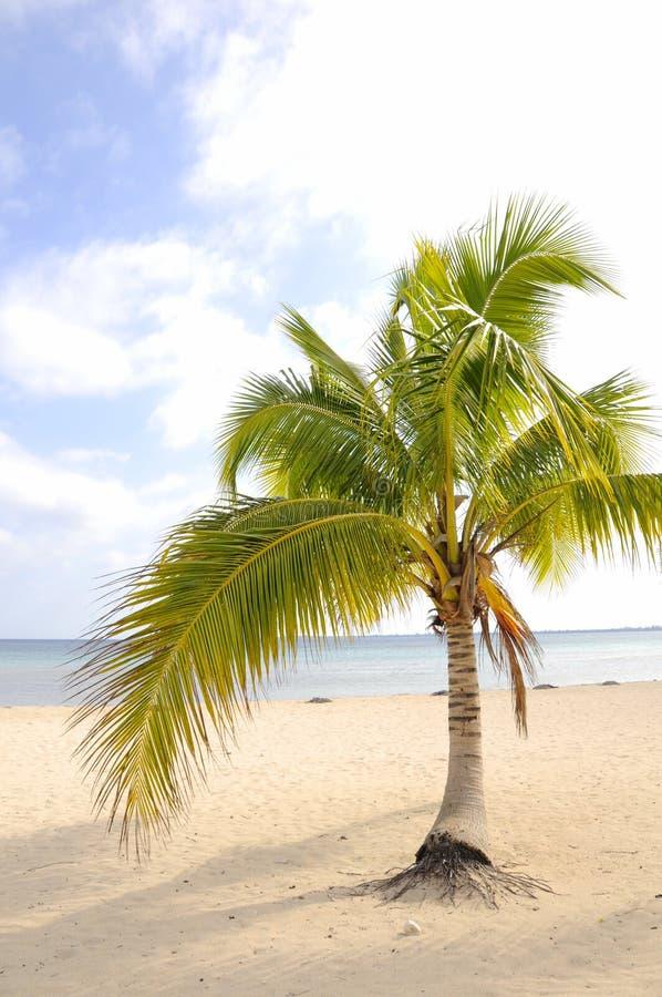Palmeira na praia tropical imagem de stock