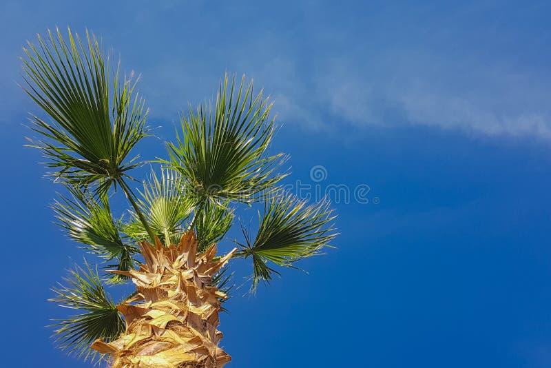Palmeira no céu azul imagem de stock