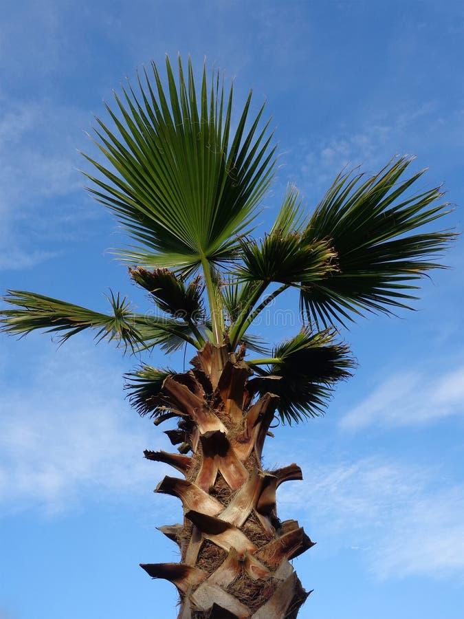Palmeira no fundo do céu azul imagens de stock royalty free