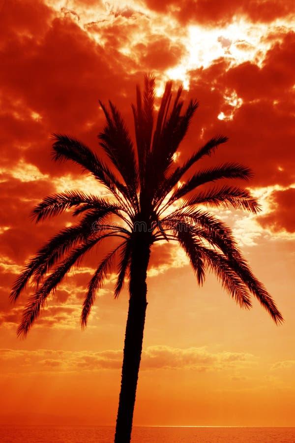 Palmeira no por do sol. foto de stock royalty free