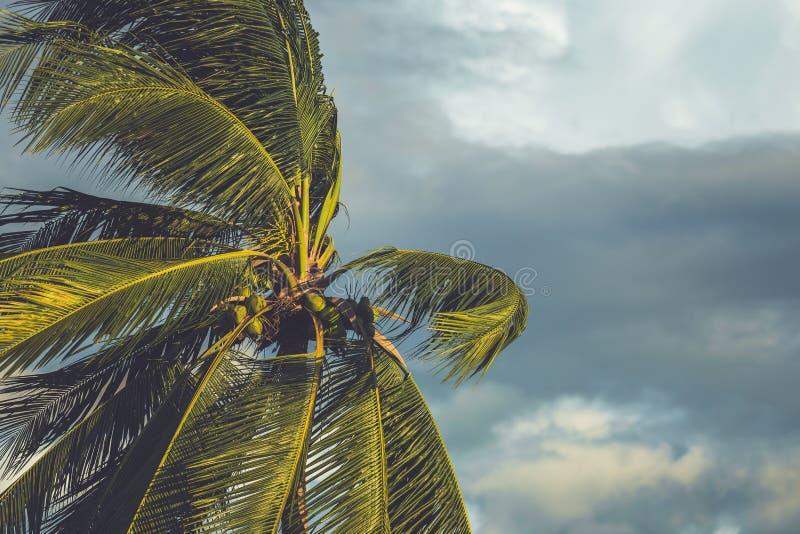 Palmeira no vento com nuvem escura foto de stock