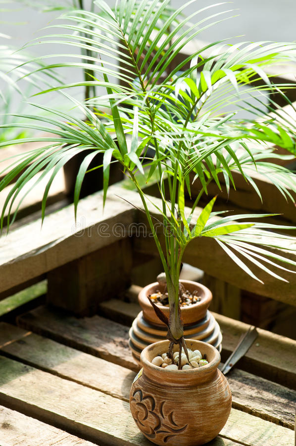 Palmeira Potted diminuta foto de stock royalty free