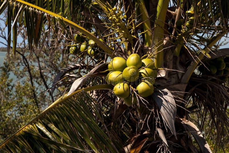 A palmeira real com cocos aglomerou-se entre as frondas da palma fotografia de stock royalty free