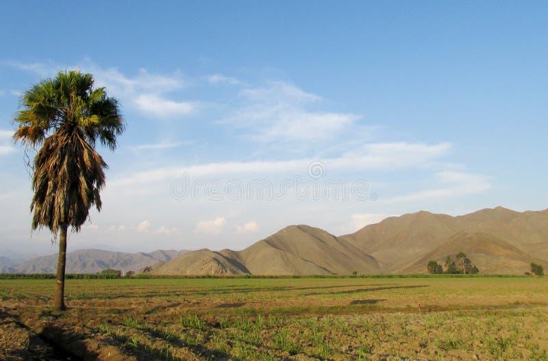 Palmeira só no campo fotografia de stock royalty free
