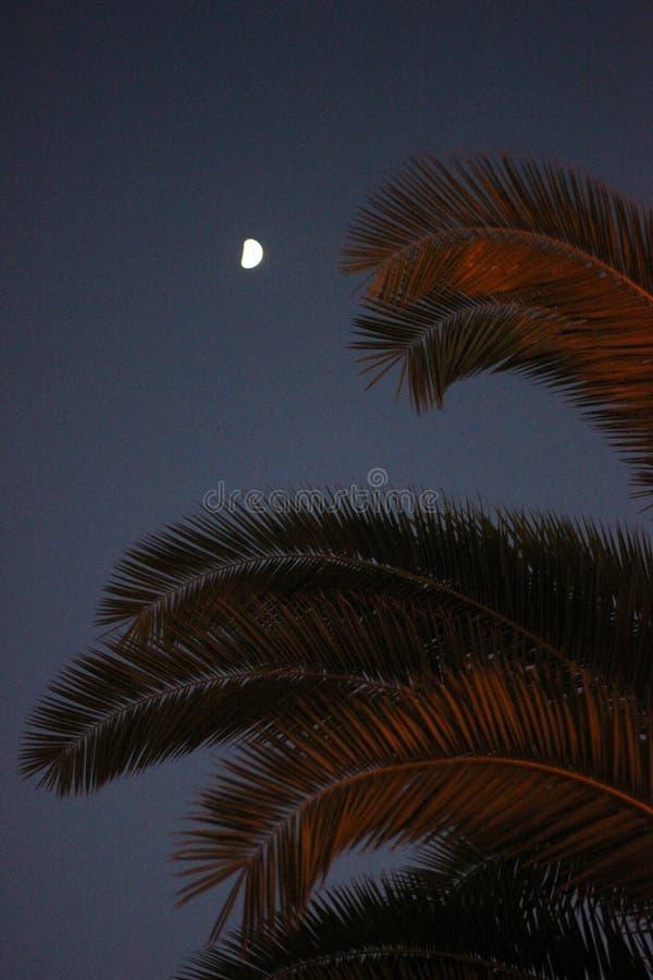 A palmeira sae com a lua no fundo foto de stock royalty free