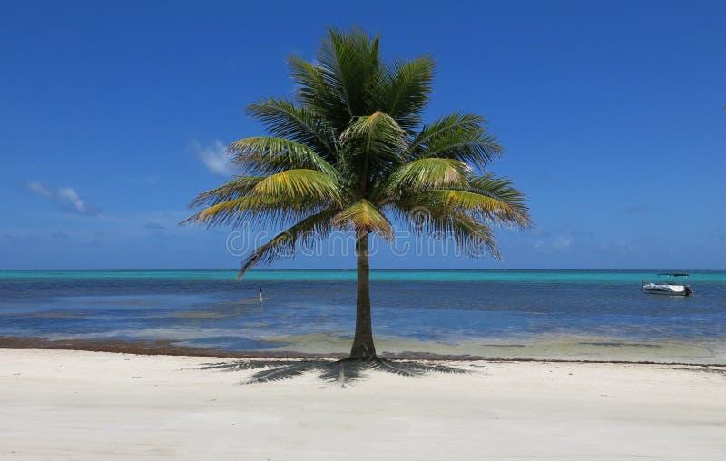 Palmeira solitária imagens de stock