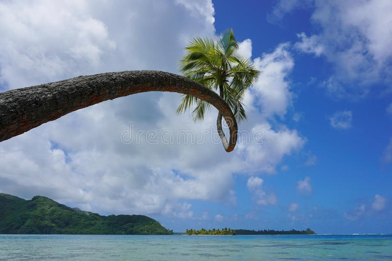 Palmeira torcida do coco que inclina-se sobre o mar foto de stock