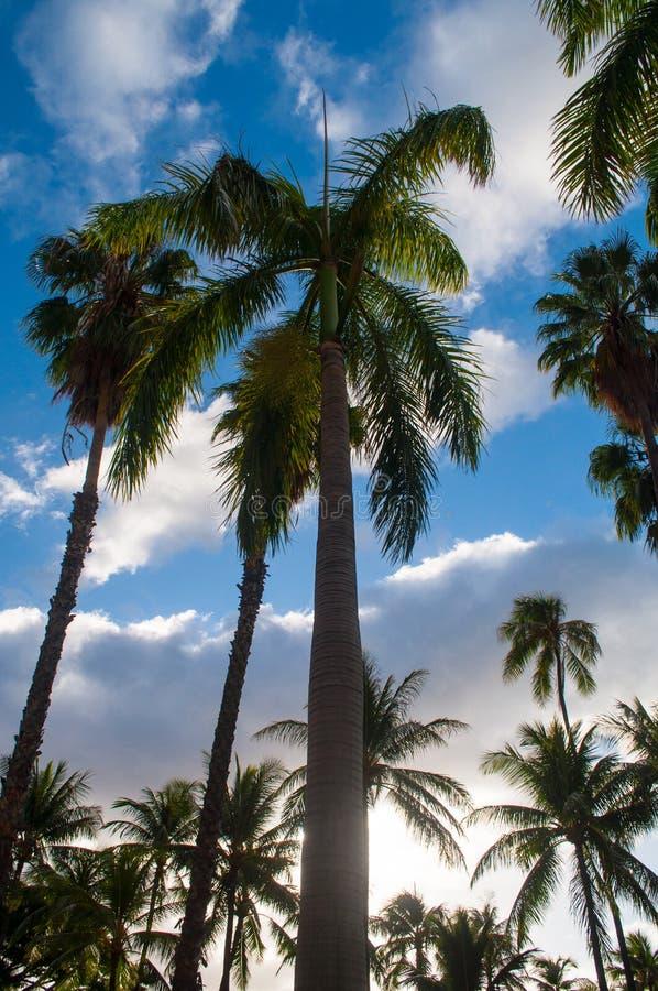 Palmeiras altas com o céu no fundo foto de stock royalty free