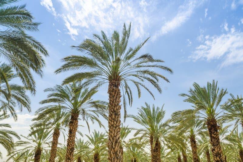 Palmeiras altas da data dos figos no pomar de Médio Oriente foto de stock