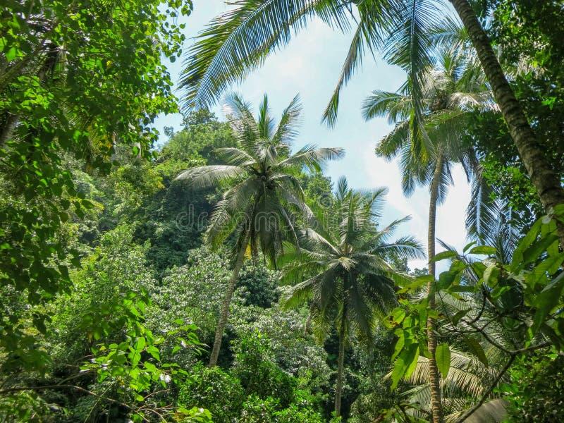 Palmeiras altas do coco na vegetação selvagem da floresta tropical tropical e em muitas plantas bonitas Cor verde de todas as más imagens de stock