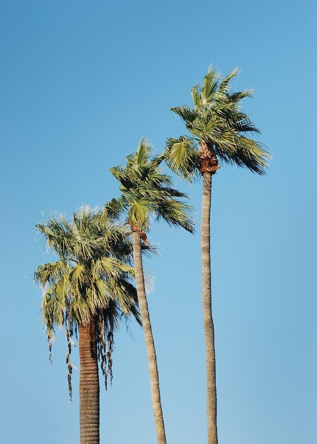 Palmeiras altas e céu azul fotografia de stock royalty free