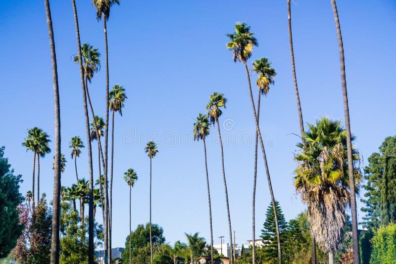 Palmeiras altas que crescem em Los Angeles ocidental, Califórnia fotografia de stock