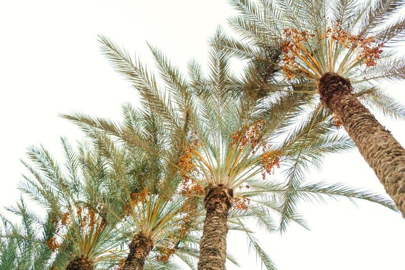 Palmeiras bonitas Vista inferior na natureza exótica foto de stock