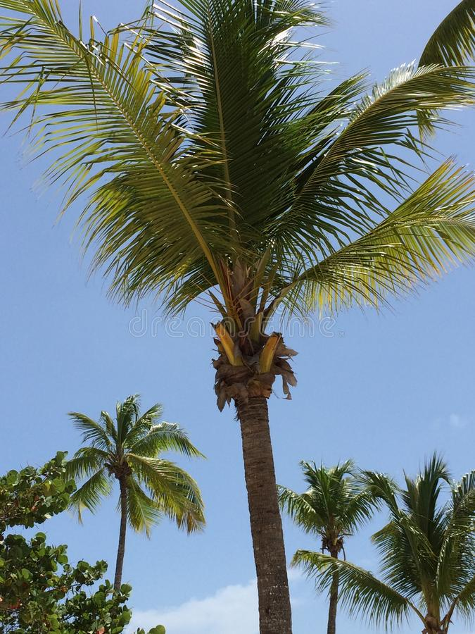 Palmeiras, Catalina Island, D r fotos de stock royalty free