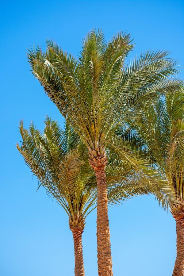 Palmeiras contra um céu azul claro, lugar tropical fotografia de stock