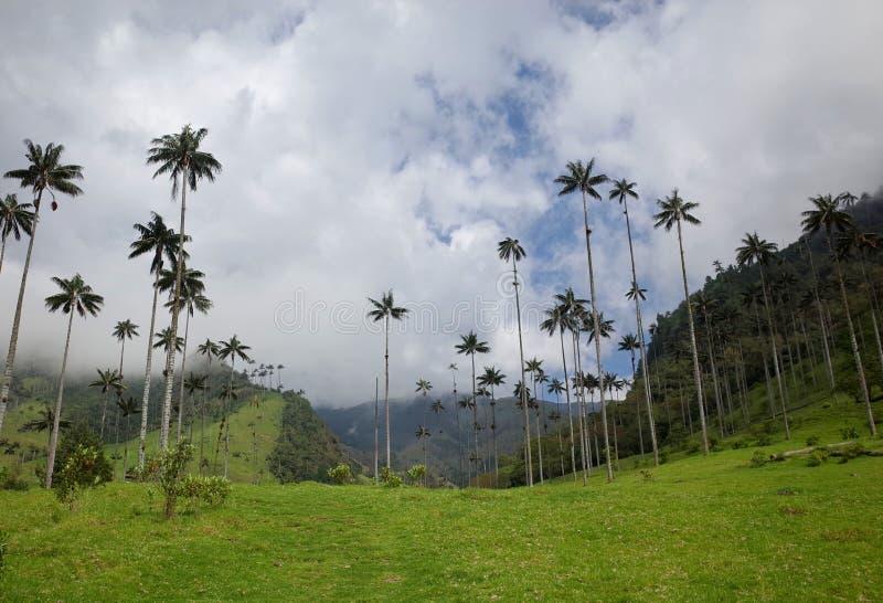 Palmeiras da cera no vale de Cocora fotografia de stock