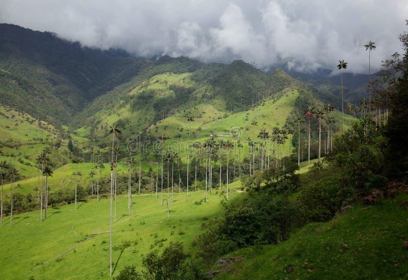 Palmeiras da cera no vale de Cocora foto de stock