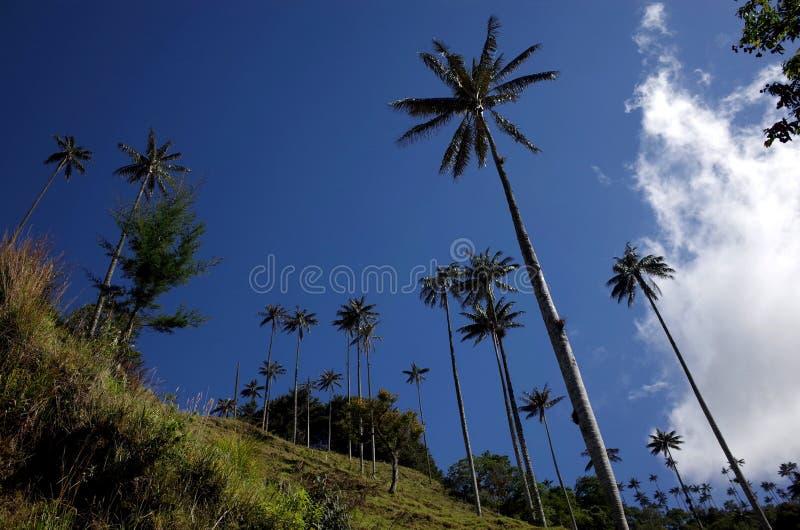 Palmeiras da cera no vale de Cocora foto de stock royalty free
