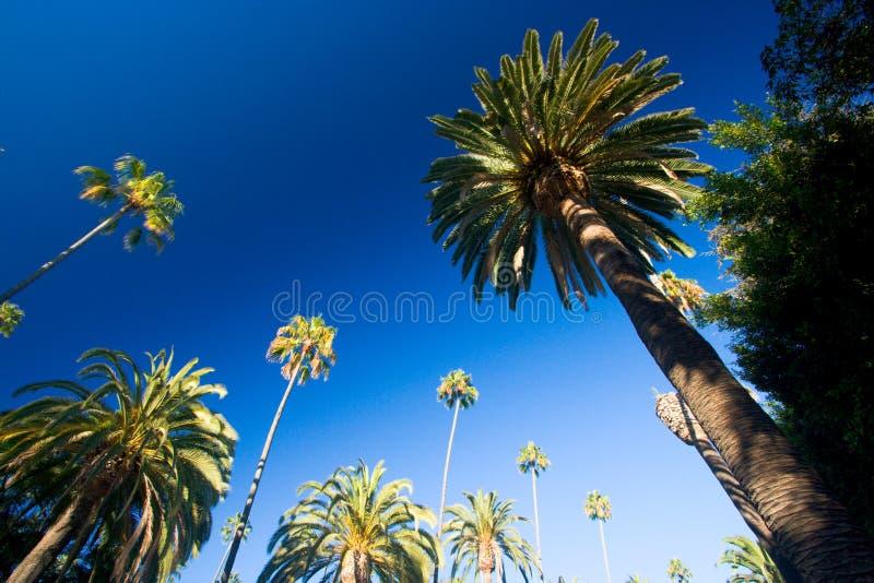 Palmeiras de Califórnia fotografia de stock