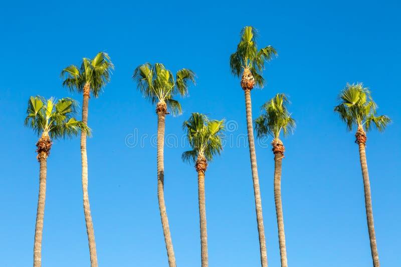 Palmeiras de Califórnia imagens de stock