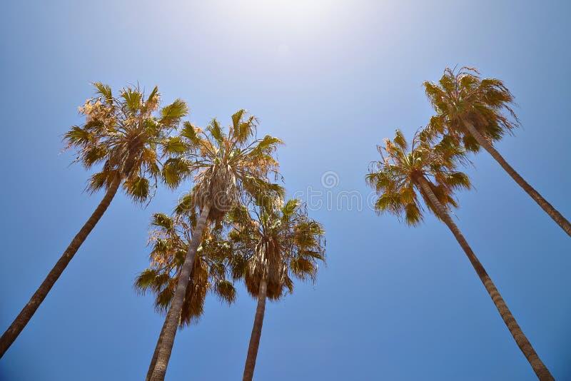 Palmeiras de Califórnia contra o céu azul fotos de stock royalty free