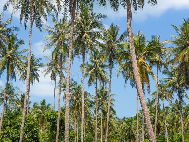 Palmeiras do coco contra o c?u azul Paisagem tropical imagens de stock royalty free