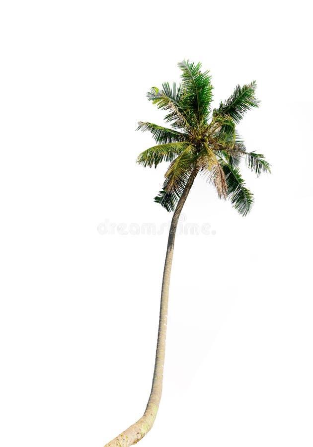 Palmeiras do coco no branco foto de stock royalty free