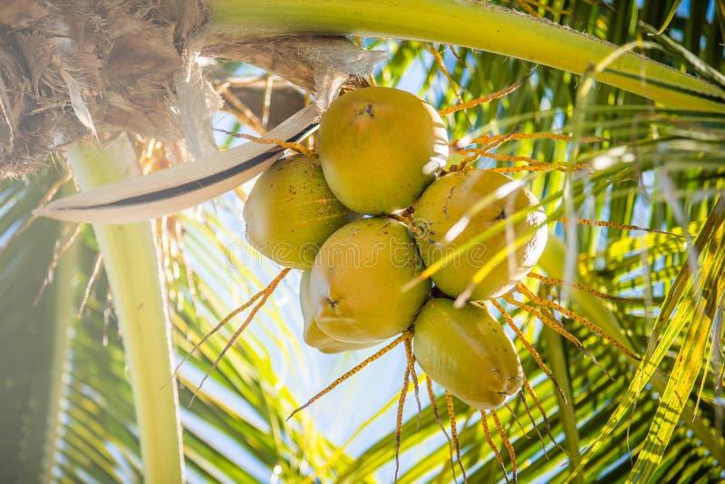 Palmeiras doces do coco com o céu azul em Key West florida foto de stock royalty free