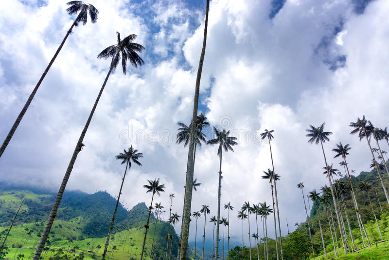 Palmeiras e céu da cera fotos de stock royalty free