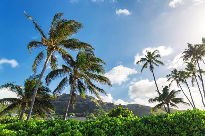 Palmeiras e fundo do céu azul na praia tropical de Oahu imagens de stock