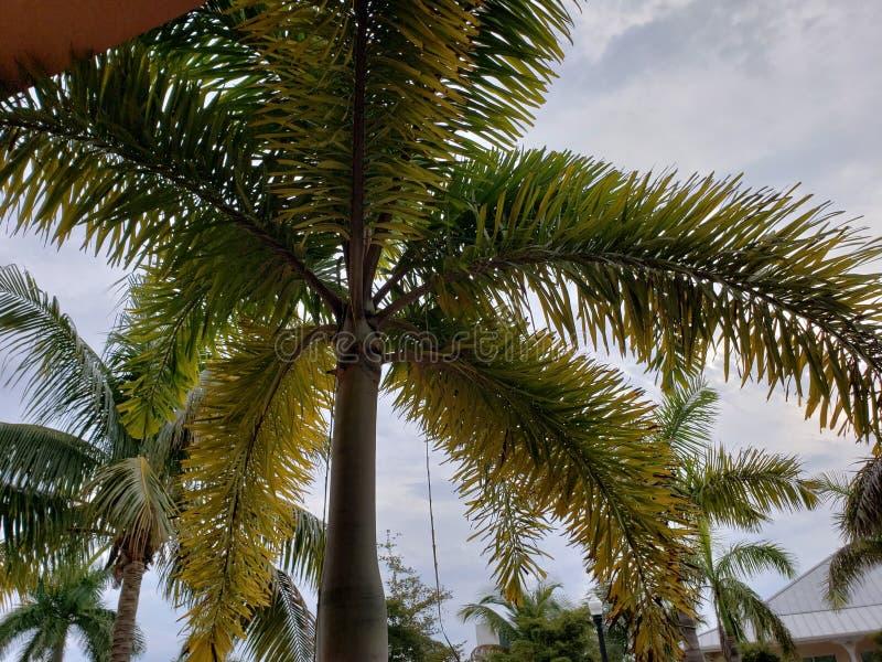 Palmeiras em Florida imagens de stock