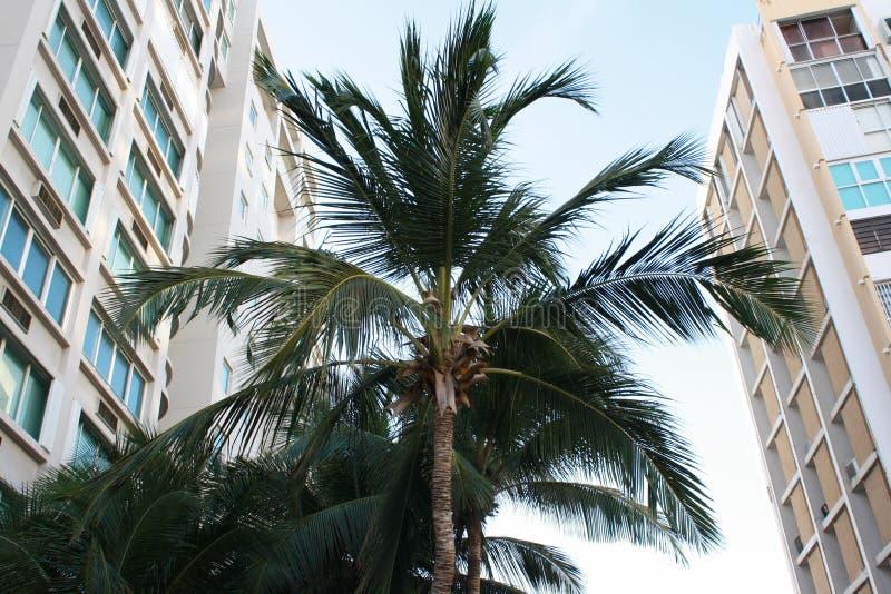PALMEIRAS EM PORTO RICO foto de stock