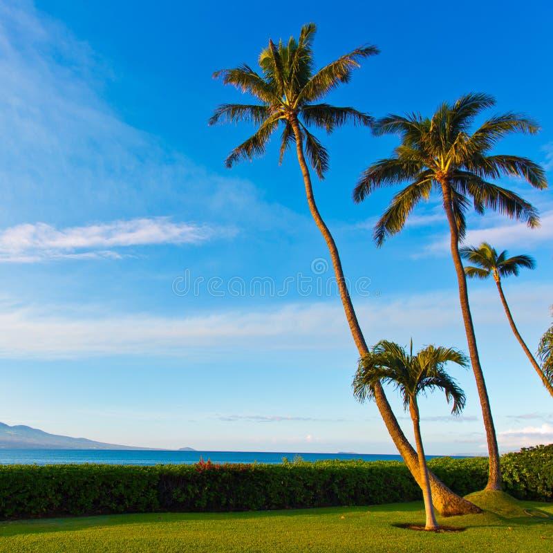 Palmeiras na luz solar em Maui Havaí imagens de stock