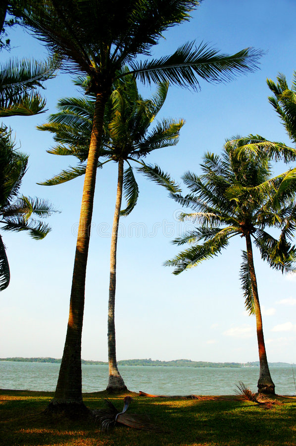 Palmeiras no vento do mar fotografia de stock royalty free
