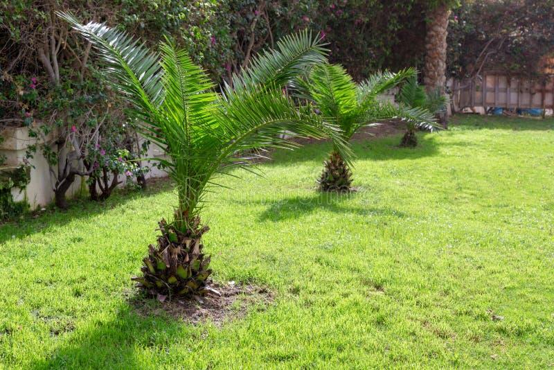 Palmeiras pequenas na grama verde árvores verdes no parque tropical bem conservado do fundo, gramado bem aparado no verão imagens de stock royalty free