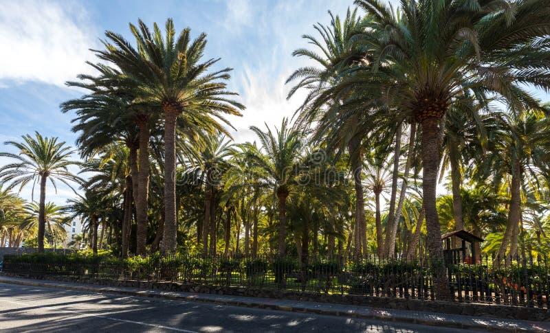 Palmeiras que crescem em um parque em Maspalomas, Gran Canaria na Espanha Estrada na parte dianteira imagem de stock royalty free