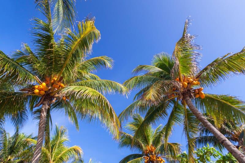 Palmeiras tropicais do coco sobre o céu azul imagem de stock