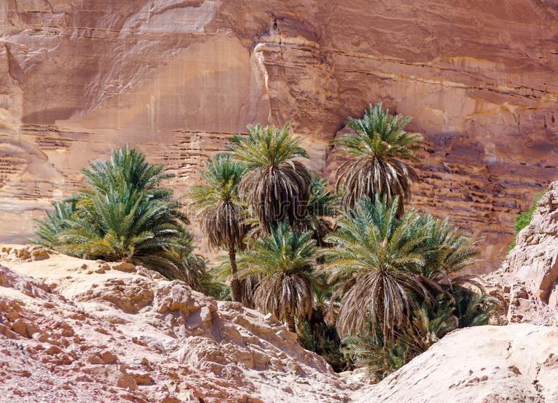 Palmeiras verdes em uns oásis no deserto contra o contexto das rochas em Egito Dahab Sinai sul imagens de stock