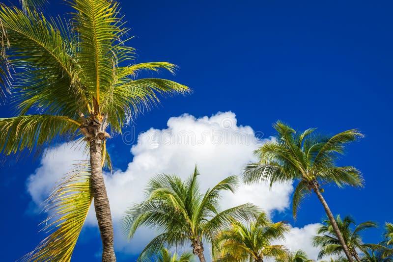Palmeiras verdes na obscuridade - céu azul do coco com nuvens brancas Pho fotografia de stock royalty free
