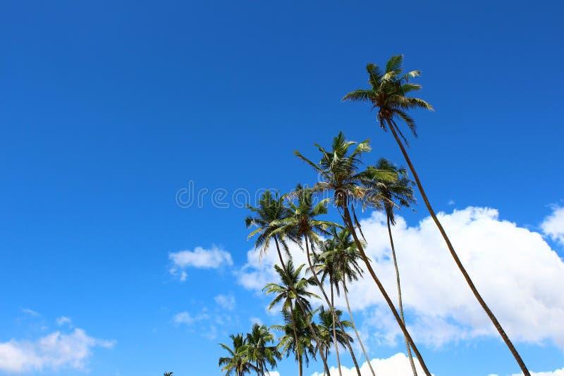 Palmen auf dem Hintergrund des blauen Himmels stockfotografie