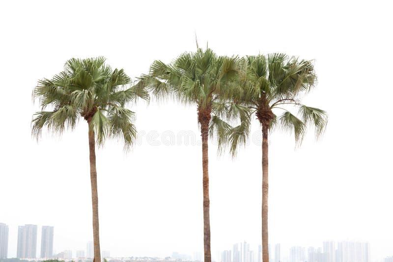 Palmen auf weißem Hintergrund lizenzfreie stockfotos