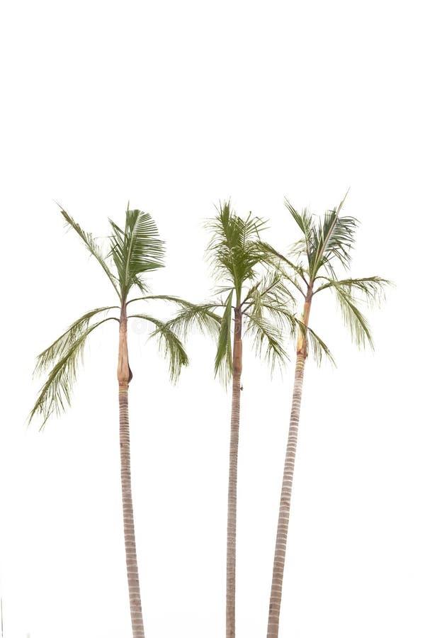 Palmen auf weißem Hintergrund stockfotografie