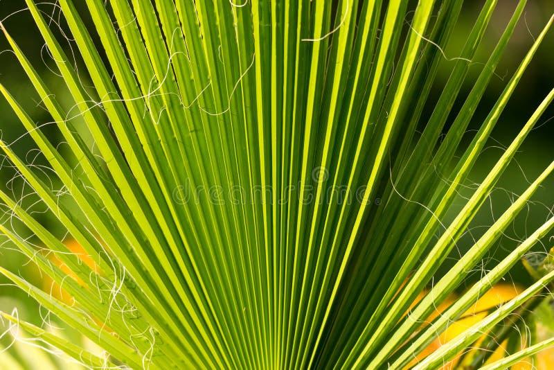 Palmen-Baumast Tropische Baumfotonahaufnahme stockfotografie