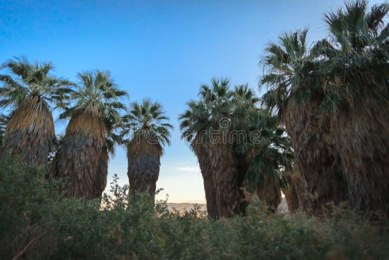 Palmen bei tausend Palmen-Oasen-Konserve lizenzfreie stockbilder