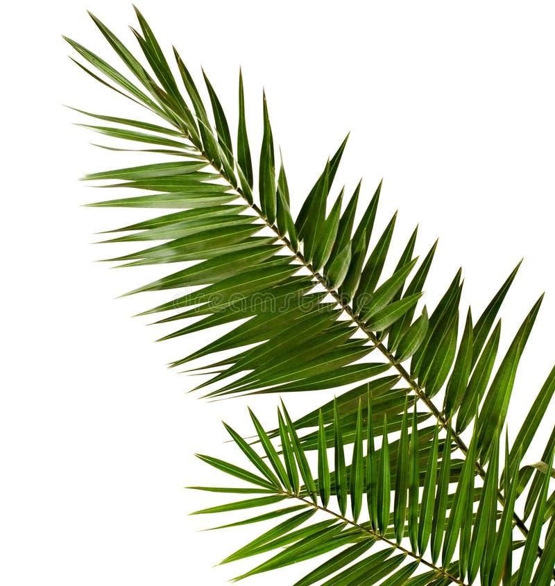 Download Palmen-Brunch stockbild. Bild von getrennt, nave, gesund - 14407163