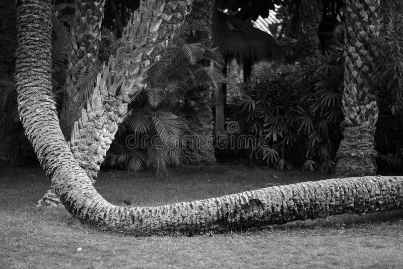 Palmen in der Stadt von Elche in Alicante, in der Provinz Elx in Spanien stockfotos